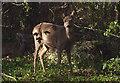 SD4078 : Roe deer on the edge of Eden Mount : Week 43