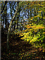SO8993 : Woodland in Baggeridge Country Park, near Sedgley by Roger  Kidd