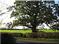 SJ6665 : Ancient oak in Rilshaw Lane by Dr Duncan Pepper
