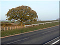 SK6533 : Oak tree alongside Owthorpe Road by Alan Murray-Rust