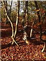 SU9684 : Brockhurst Wood : Week 46