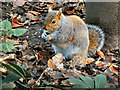 SD7406 : Grey Squirrel at Moses Gate Country Park (3) by David Dixon