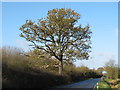 TL8201 : Oak on Hackmans Lane by Roger Jones