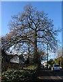 SP2978 : Oak, Broad Lane by E Gammie