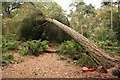 SJ5255 : Fallen tree on Bulkeley Hill by Jeff Buck