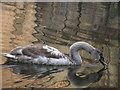 SK3788 : Cygnet on the Canal by Dave Pickersgill