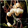 SO6424 : Fruit of the Himalayan Rowan : Week 51