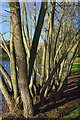 SP0584 : Willows on the bank of the lake at the Vale, Edgbaston by Phil Champion