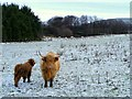 NJ3240 : Highland Cow with Calf by Ann Harrison