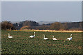 NT8338 : Swans in a field near Wark by Walter Baxter