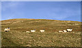 NT2925 : Sheep on Craig Hill by Walter Baxter