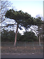 TQ4677 : Pine tree on Wickham Lane by Stephen Craven