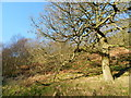 SK0487 : Oak tree on the slope of Kinder Bank Wood by Peter Barr