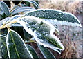 NZ3174 : Frosted Evergreen by Christine Westerback