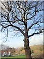 TQ3096 : Large Oak Tree, Lonsdale Drive, Enfield by Christine Matthews