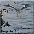 HP6309 : Grey Heron (Ardea cinerea), Baltasound : Week 4