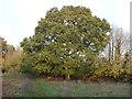 SP3633 : Fine tree by Michael Dibb