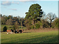 TQ4369 : Cattle near Chislehurst by Robin Webster