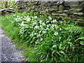 NY4103 : Wild Garlic (Allium ursinum) by Christine Matthews