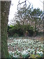 NG2543 : Snowdrops at Orbost by Carol Walker