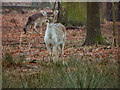 SJ7386 : Young Deer at Dunham Park by David Dixon