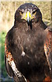 NZ2575 : Hetty the Harris Hawk by Christine Westerback