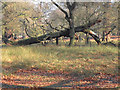 SJ7386 : Dunham Deer Park, Fallen Tree by David Dixon