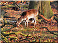 SJ7386 : Grazing Deer by David Dixon
