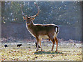 SJ7386 : Dunham Deer Sanctuary by David Dixon