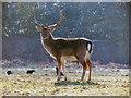 SJ7386 : Dunham Deer Sanctuary by David Dixon