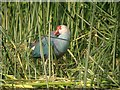 TL3470 : Purple Swamphen, River Great Ouse by Hugh Venables