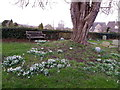 ST7818 : Snowdrops, Marnhull by Miss Steel