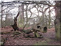 SJ7486 : Natural sculpture Dunham Massey by Peter Turner