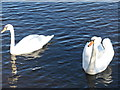 NT0157 : Mute swans at Cobbinshaw by M J Richardson