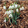 TL3501 : Snowdrops (Galanthus nivalis) by Christine Matthews