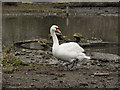 SO7104 : Mute Swan at Slimbridge by David Dixon