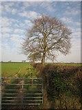 SX3387 : Beech by the footpath by Derek Harper
