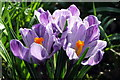 NZ3469 : Crocus by Christine Westerback