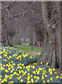 SE7170 : Daffodils and ancient trees by Pauline Eccles