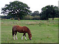 SJ7858 : Grazing near Hassall Green, Cheshire by Roger  Kidd