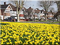 TQ1765 : Kelvin Grove, Daffodils by Colin Smith