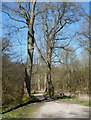 SK1965 : Lathkill Dale footpath passing tall trees by Andrew Hill