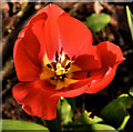 J4774 : Tulip, Kiltonga, Newtownards by Albert Bridge