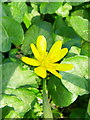 SU0725 : Lesser Celandine, Bishopstone by Miss Steel
