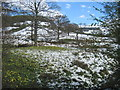 SE6697 : Farndale  Daffodil's  in  the  snow by Martin Dawes