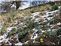 SK2890 : Daffodils in the snow on Stacey Lane by David P Howard