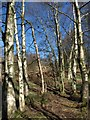 SE2063 : Birches, Braisty Woods by Derek Harper