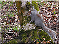 SD8204 : Squirrel at Heaton Park (2) by David Dixon