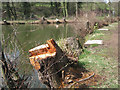 SK2890 : Stumps of alder, Loxley Fisheries by Robin Stott