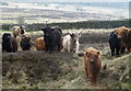 SK2774 : Cattle on open moorland by Andrew Hill
